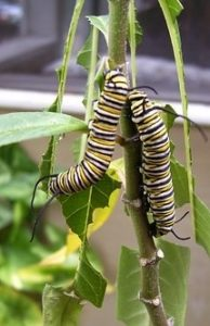 Monarch Caterpillar Stages