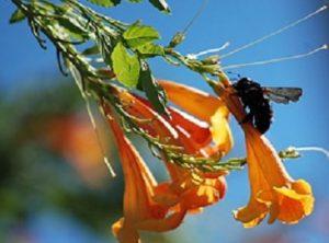 Carpenter Bee Facts