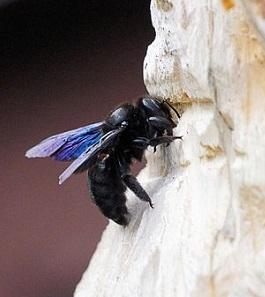 carpenter bee hive