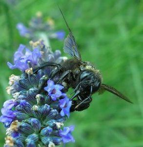 carpenter bees pollinate