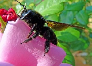 do carpenter bees pollinate
