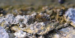 Do miner bees make honey