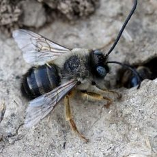 Mining Bees Facts
