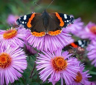 Admiral Butterflies