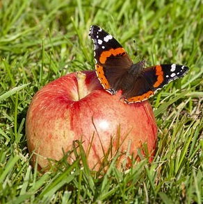 Butterfly feeding on apple