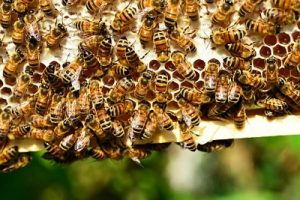 Worker Honey Bees