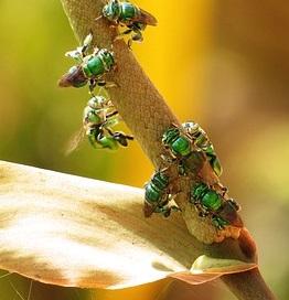 male sweat bee