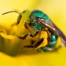 All About Sweat Bees