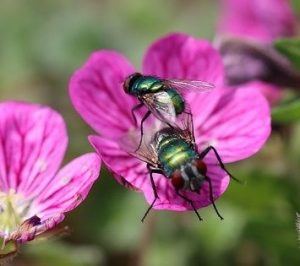 metallic green bees