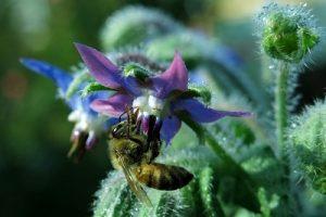Borage and bee