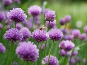 Chives and bee